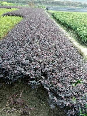 湖南怀化洪江市黑珍珠红继木