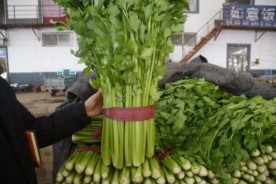 河北省邯郸市永年县美国西芹 55~60cm 大棚种植 0.5~1.0斤