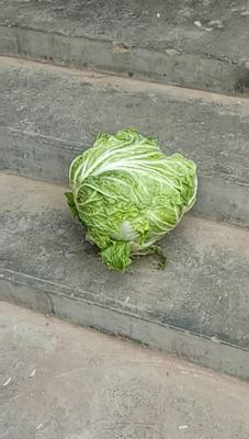 山东省菏泽市牡丹区秦杂二号大白菜 6~10斤 净菜