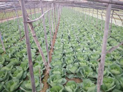 山东省菏泽市单县卷心包菜 2.0~2.5斤