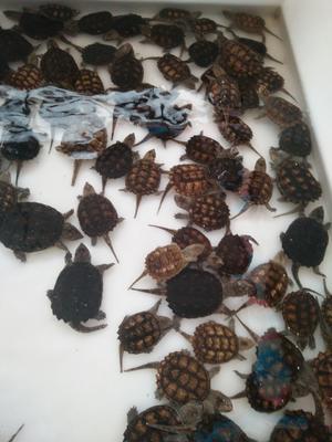 广东茂名高州市鳄龟 5-10cm 0.5斤以下