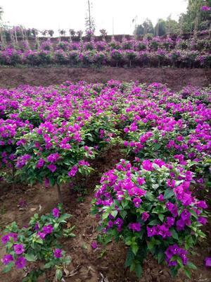 四川宜宾翠屏区紫花三角梅 0.5~1.0米