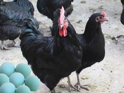河北邯郸肥乡县白条鸡 1个月 新鲜