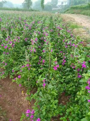四川宜宾翠屏区紫花三角梅 1.0~1.5米