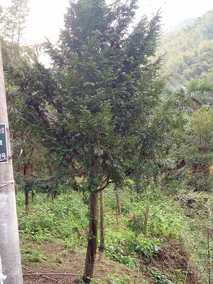 浙江衢州龙游县野生红豆杉 5米以上