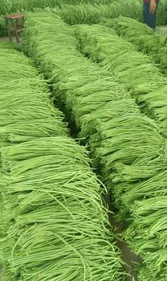 北京海淀豆角种子