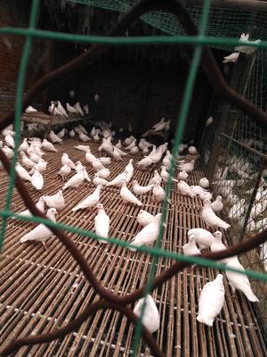 河北沧州沧县乳鸽 1个月 新鲜