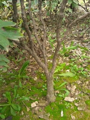 山东菏泽牡丹区牡丹树 2~4cm 4cm以下 1~1.5米