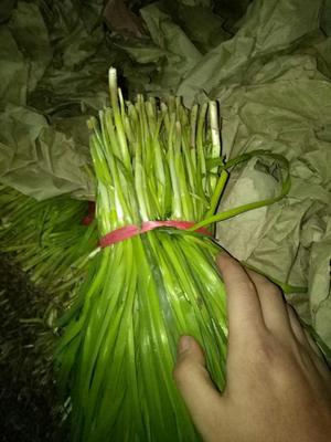 辽宁省锦州市北镇市小叶韭菜 头茬 30~35cm