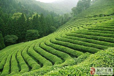 贵州省遵义市遵义县茯砖茶 盒装 特级