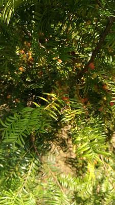 江西南昌青云谱区南方红豆杉 2.5~3米
