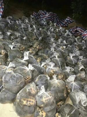广东阳江阳西县鳄龟 20-30cm 10斤以上