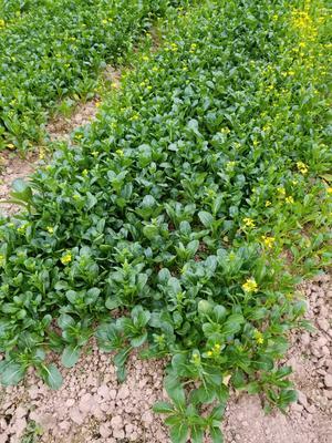 广西贺州八步区花冠小油菜 1两以下