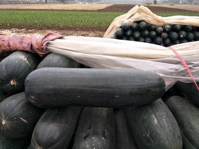 河南周口郸城县黑先锋85冬瓜 10斤以上 黑皮