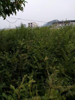 广西桂林阳朔县南方红豆杉 1~1.5米