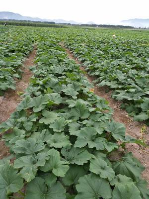海南三亚崖州区长豇豆 40cm以上 打冷
