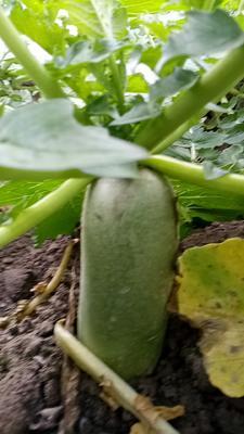 山东省潍坊市寿光市水果萝卜 1~1.5斤