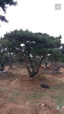 山东莱芜莱城区造型油松