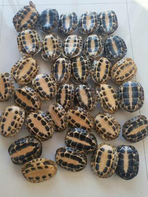 广西钦州钦南区石龟 30-50cm 1-1.5斤