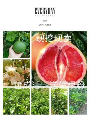 广西钦州灵山县三红蜜柚苗