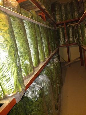 山东省济南市章丘市章丘鲍芹 55~60cm 大棚种植 1.0~1.5斤