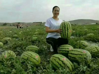 甘肃白银平川区硒砂瓜 有籽 1茬 9成熟 10斤打底