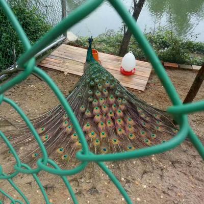广西桂林全州县蓝孔雀