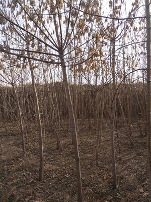 甘肃庆阳西峰区造型糖槭树