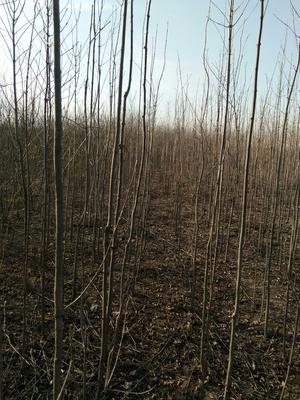 河北邢台威县老式白蜡 1.5~2米