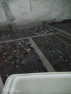 重庆南岸区乌鳢 人工养殖 1.5-2.5公斤