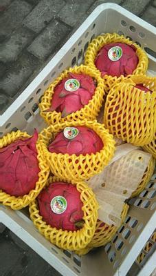 山东烟台福山区红皮红肉火龙果 特大(1斤以上)