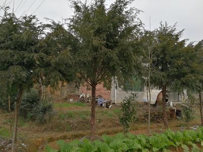 湖南长沙浏阳市南方红豆杉 3.5米~5米