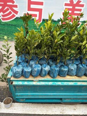 四川省雅安市名山区柑树苗 1~1.5米