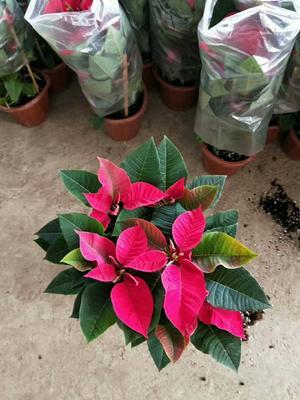 云南大理大理市一品红 造型树