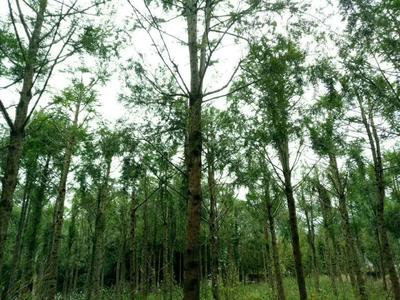 四川雅安名山区南方红豆杉 5米以上