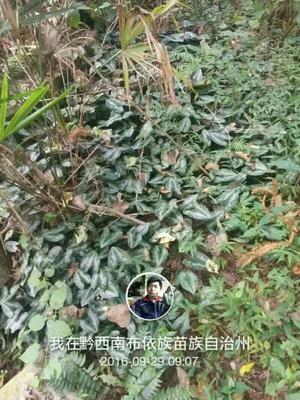 贵州省黔西南布依族苗族自治州兴仁县细辛