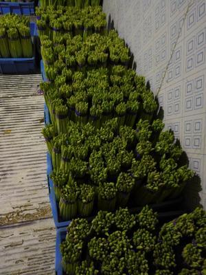 上海崇明绿芦笋 28cm以上 16mm以上