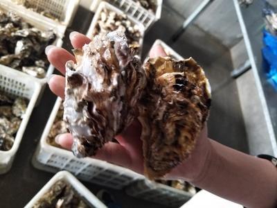 乳山牡蛎 人工殖养 3-4两/只