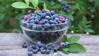 重庆城口矮丛蓝莓 鲜果 4 - 6mm以上