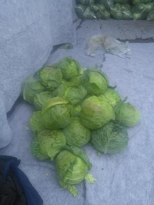 四川省凉山彝族自治州西昌市卷心包菜 2.0~2.5斤