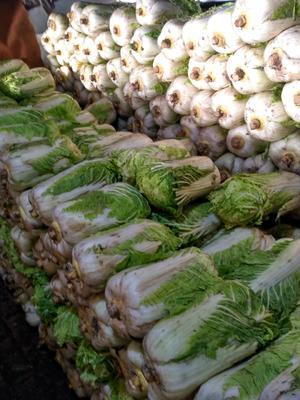 黑龙江省哈尔滨市呼兰区韩国黄心白菜 3~6斤 净菜