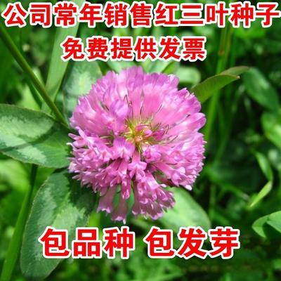 江苏宿迁沭阳县红三叶