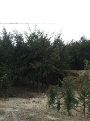 湖南邵阳新宁县南方红豆杉 2.5~3米