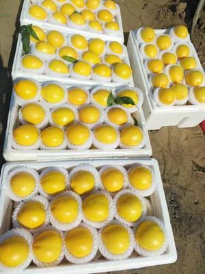 河北唐山乐亭县黄油桃 3两以上 55mm以上