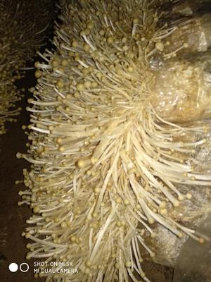 安徽省宿州市埇桥区白金针菇 15~20cm 1.2~1.5cm