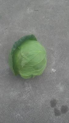 四川省凉山彝族自治州西昌市牛心甘蓝 2.0~2.5斤