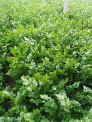 山东省菏泽市单县玻璃脆芹菜 55~60cm 大棚种植 1.5~2.0斤