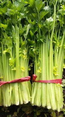 山东省潍坊市诸城市美国文图拉芹菜 60cm以上 大棚种植 0.5斤以下
