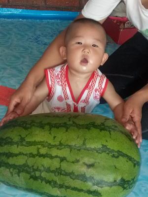 黑龙江七台河勃利县百臣雷首西瓜 有籽 1茬 8成熟 15斤打底