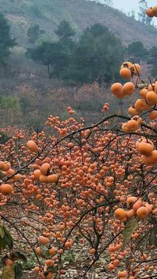 湖南长沙浏阳市广西桂林平乐县 1 - 2两以上